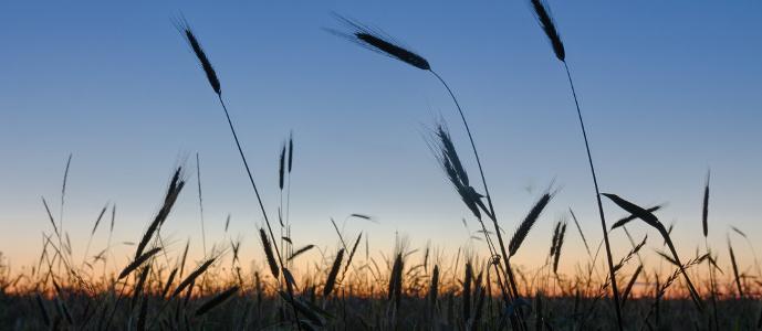Darnels Amongst the Wheat